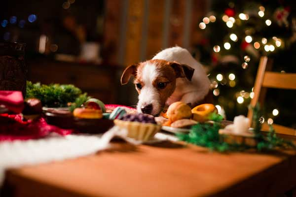 A dog eyes some holiday treats.