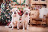DOgs near a Christmas tree.