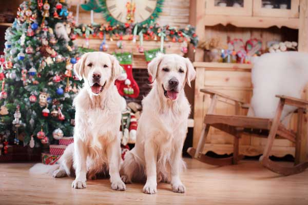DOgs near a Christmas tree.