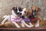 Dogs in sweaters. Photography by Liliya Kulianionak/Shutterstock.