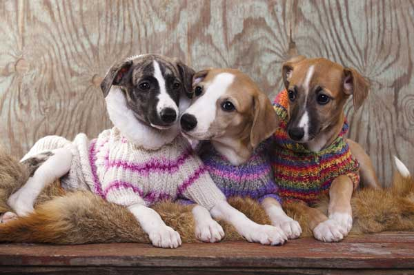 Dogs in sweaters. Photography by Liliya Kulianionak/Shutterstock.