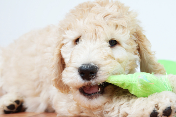 Puppy chewing on a toy.
