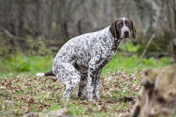 A spotted dog pooping in the woods.