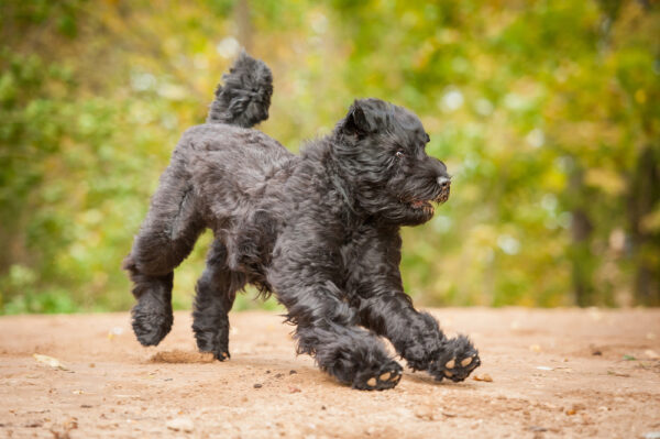 A Black Russian Terrier.