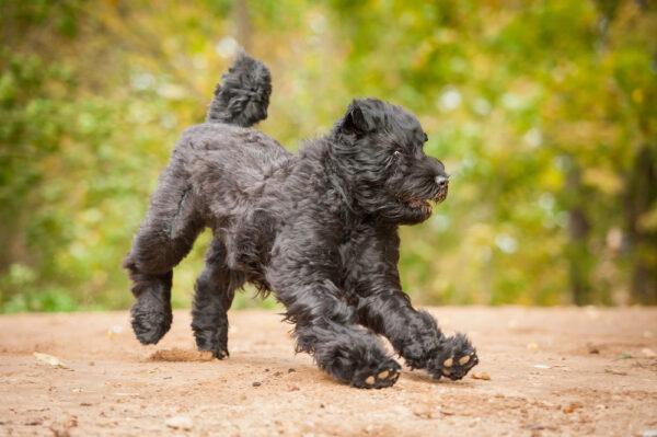 A Black Russian Terrier.