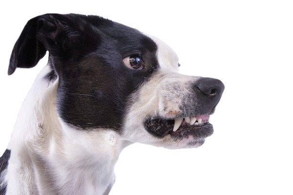 Dog Growling — 4 Things to Know