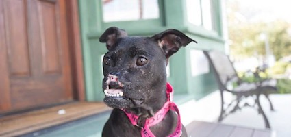 Khaleesi The Noseless Pit Bull Uses Her Fame To Help Other