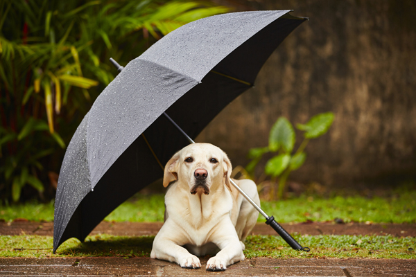 A dog under an umbrella.