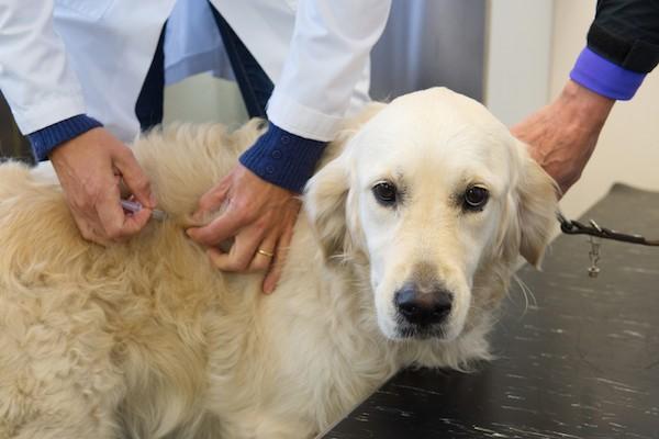 A golden retriever getting a vaccine.