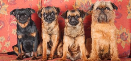 get to know the brussels griffon the grumpy looking gremlin