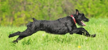 get to know the giant schnauzer the schnazzy show dog