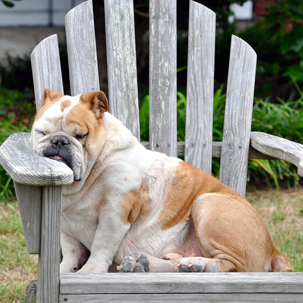 A sleeping dog with his face smushed against an Adirondack chair.
