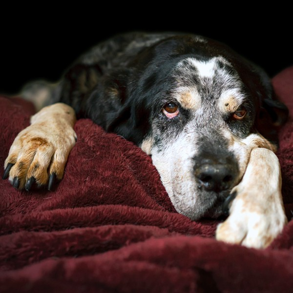 An older, senior dog who is lying down on a bed.