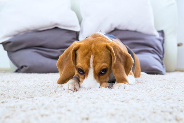 A beagle lying down on a deep carpet.