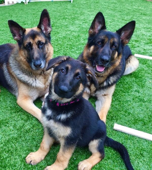 A German Shepherd Dogs. Photography by Deborah Stern.