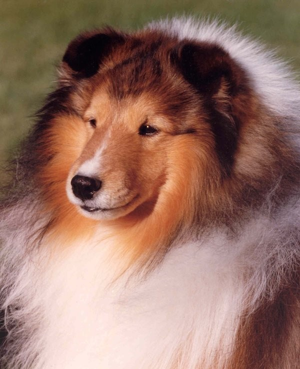 A Shetland Sheepdog. Photography by Sharon Parrish.