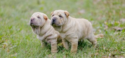how to treat puppy impetigo