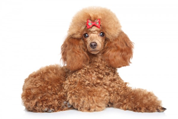 Photo of Toy Poodle