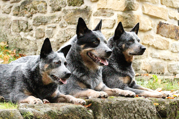 What Are The Best Farm Dogs