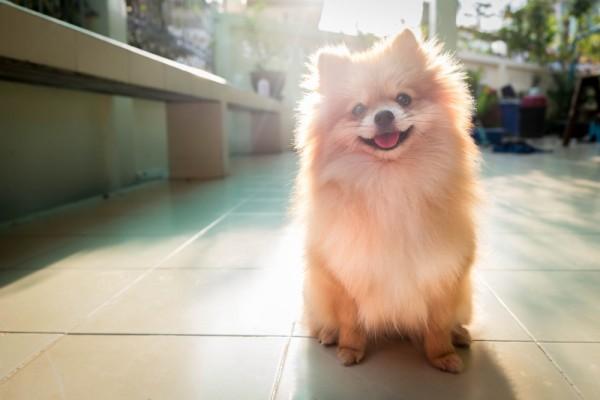 A Smiling Pomeranian.