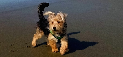 how i came to love a morkie puppy i really didn t want