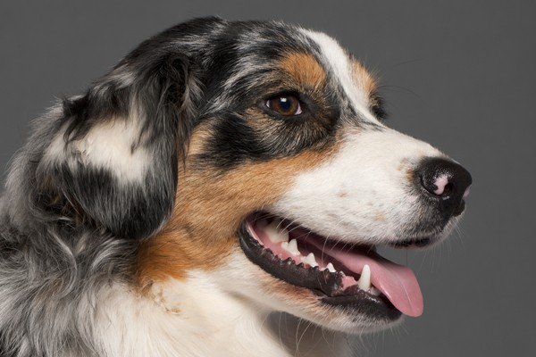 A dog smiling with his mouth open.
