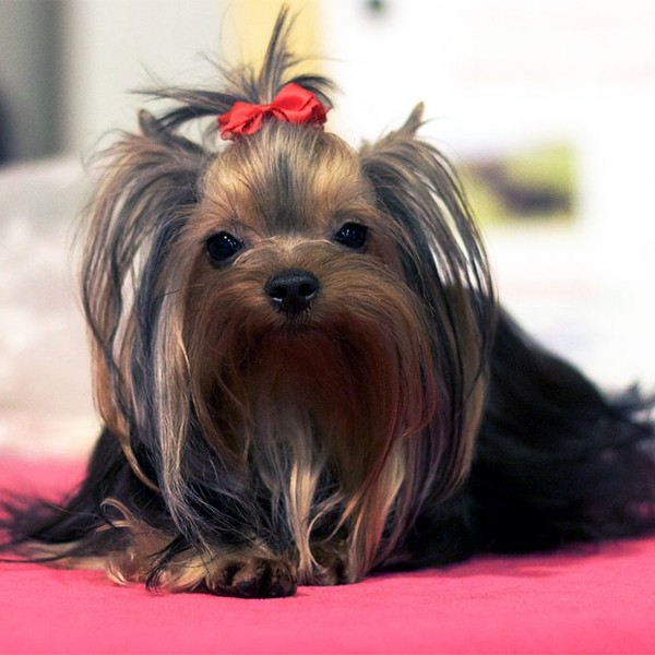 A yorkie with a ribbon in her hair.