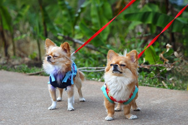 Chihuahuas on leashes.