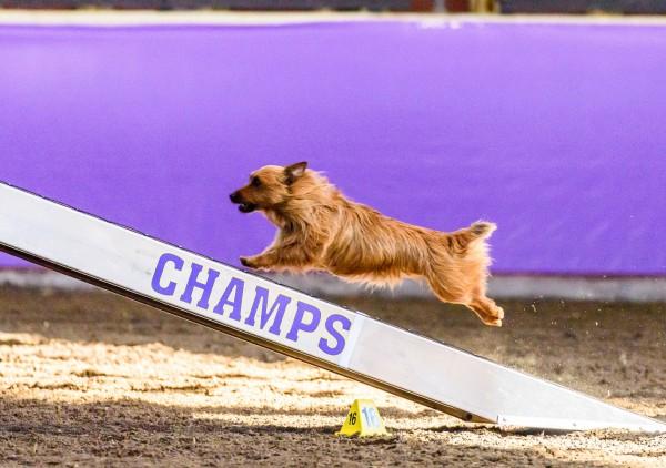 Austrailian Terrier courtesy Steve Delaney at Pawprint Pictures