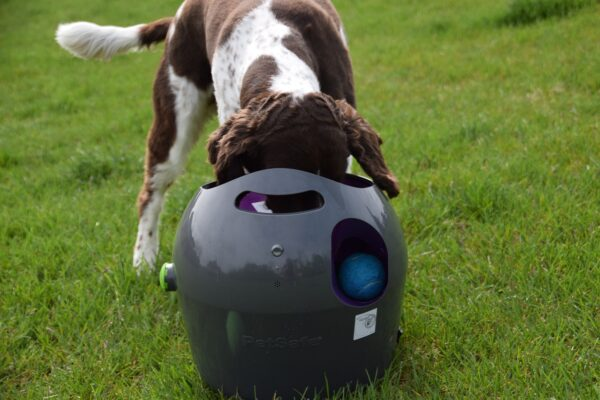 Photo by Raygan Swan, Charlie, growing impatient with the launcher, tries to retrieve his ball the wrong way.