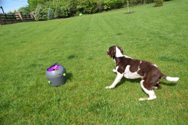 Photo by Raygan Swan, Charlie takes after the tennis ball after it is launched.