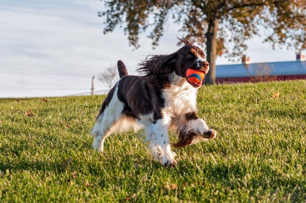 English Springer Spaniel, courtesy Melody Carranza