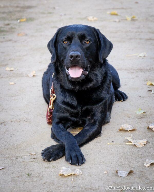 abratory Retriever courtesy blackdogsrule andCanine Hope for Diabetics