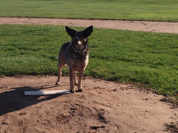 Maybelle likes the baseball diamond better than the dog park.