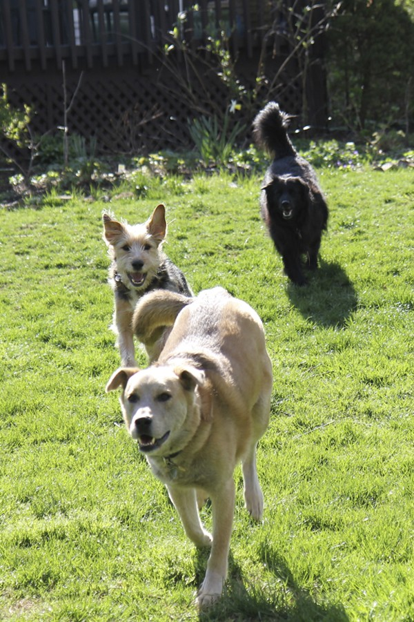 Having a good recall can save your dog's life. Here, Jasper, Tucker and Lilah come running when called.
