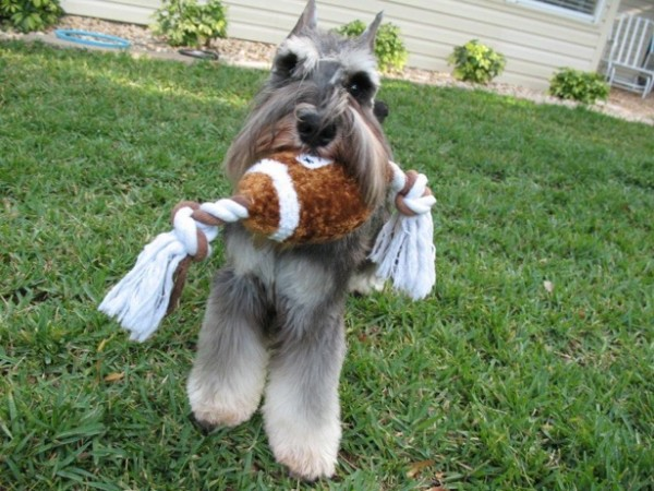 Miniature Schnauzer, courtesy American Miniature Schnauzer Club