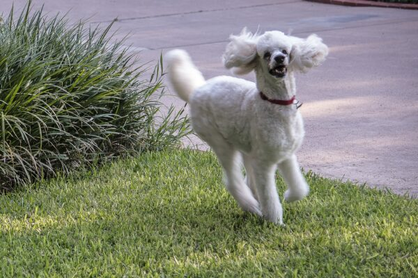 Standard Poodle, Sam Houston, courtesy Bill Wright
