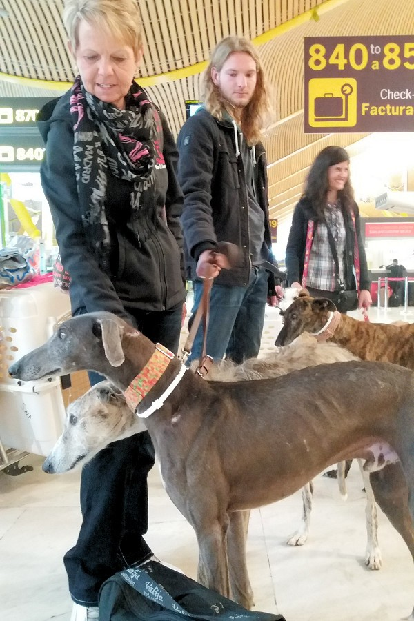 rescued-galgos-at-madrid-airport(3)