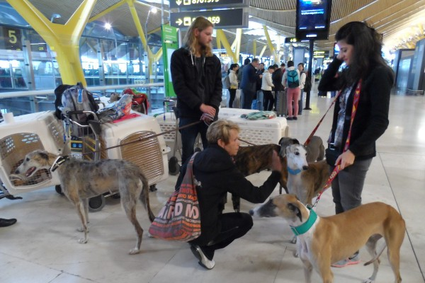 rescued-galgos-at-madrid-airport(4)