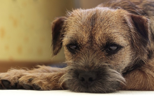Border Terrier by Shutterstock.