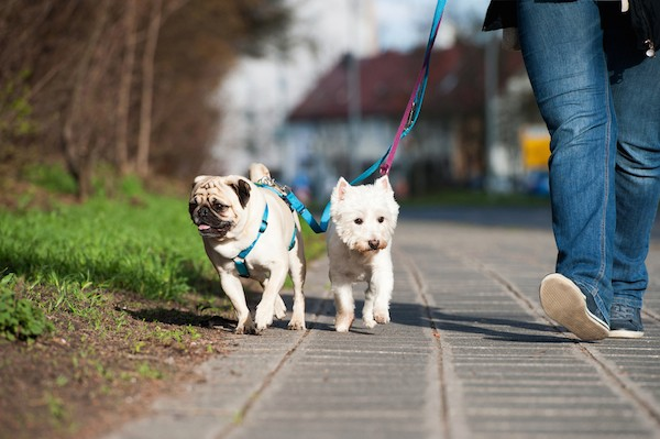 Woman walking dogs by Shutterstock.