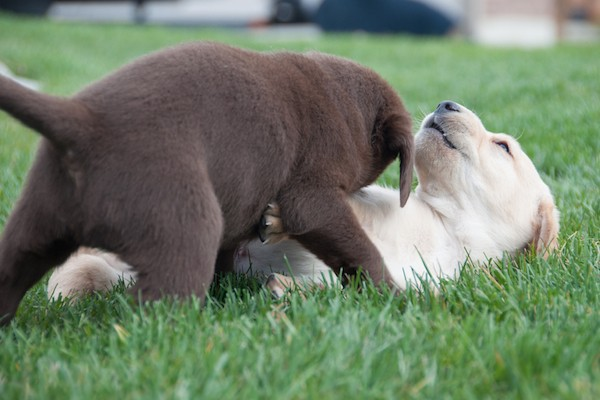 Labrador puppies at play by Shutterstock.