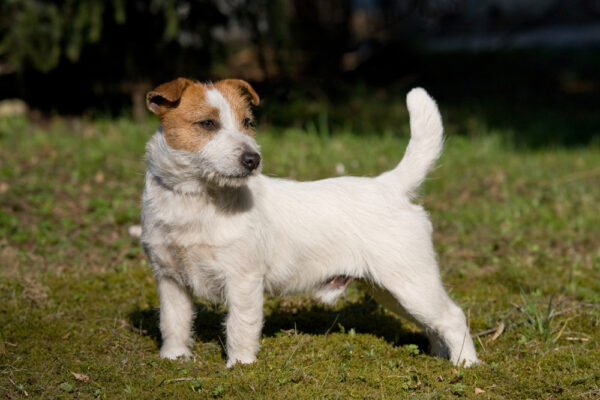 Get To Know The Russell Terrier The One With The Shorter Legs