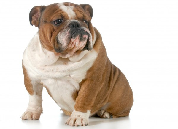 Bulldog courtesy Shutterstock