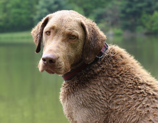 Chesapeake Bay Retriever courtesy Jessica O'Dell