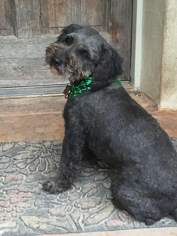 Richard Parker today, an eccentric but happy family dog. Courtesy Lara Stonesifer