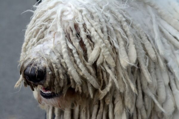 Komondor courtesy Shutterstock