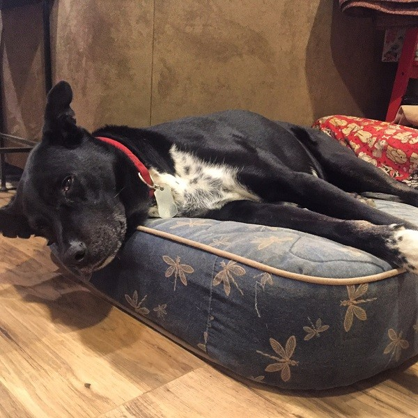 Riggins happily lounging in his bed, (Photo by Wendy Newell)