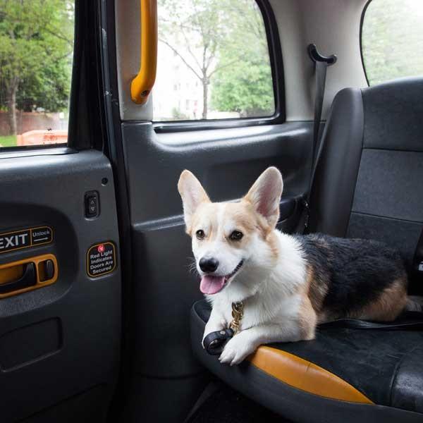 Winny enjoys a ride in a London taxi. Photo courtesy Winny the Corgi/Instagram