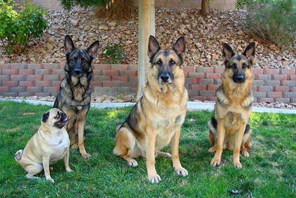 Five-year-old Gizzy and his pack (from left to right), Heidi, Hugo and Chloe Bear. As this photo clearly illustrates, he often enjoyed sizing up Hugo for alpha male status.